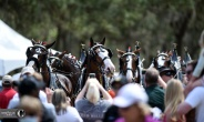 The Budweiser Clydesdales were mobbed at Red Hills.